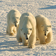 Polar Bear mother with her two cubs during the winter. Hudson Bay, Churchill, Manitoba, Canada