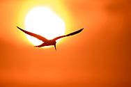 Grossschnabel-Seeschwalbe (Phaetusa simplex) im südlichen Pantanal an der Estrada Parque, Brasilien<br /> <br /> Large-billed tern in the southern part of the Pantanal along the Estrada Parque, Brazil