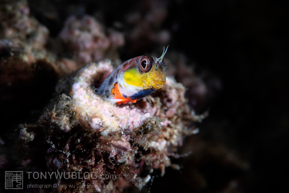 This is a male Laiphognathus multimaculatus Spotty Blenny displaying bright yellow, orange and blue colors and patterns used to court females during breeding season. Males perform a dance in front of their burrows. Interested females enter the burrow to deposit eggs.