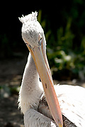 Avifauna, Europa's grootse vogelpark. / Avifauna - the largest bird sanctuary in Europe Op de foto / On the photo : Roodrugpelikaan ( Pelecanus rufescens) / Red Pelican