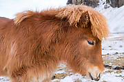 Close-up headshot portrait side view of cute shaggy-haired typical Icelandic pony in South Iceland