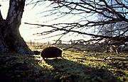 Hedgehog (Erinaceus europaeus) walking across woodland horizon, backlight by sun, early evening Scotland