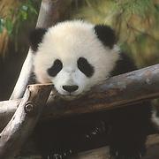 A baby panda bear (Ailuropoda melanoleuca) at the San Diego Zoo in California. Captive Animal