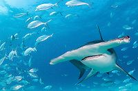 Blue Runners scatter away from an incoming Great Hammerhead Shark <br /> <br /> Shot in Bimini, Bahamas