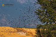 Large flock of redwing blackbirds at wetlands pond in the Flathead Valley, Montana, USA