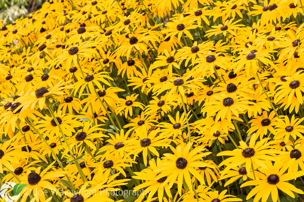 Rudbeckia fulgida var. deamii in the terraced gardens at Powis Castle, Welshpool