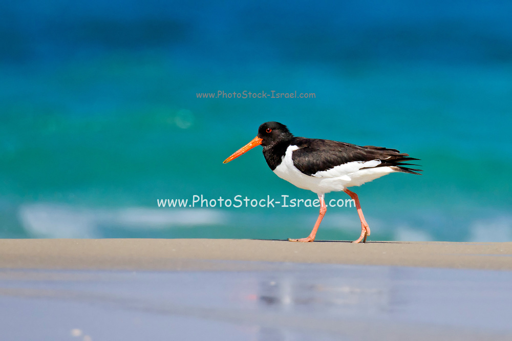 Eurasian oystercatchers (Haematopus ostralegus) The eurasian oystercatcher is found throughout Europe, central Eurasia, China and the western coast of Korea. It is a migratory bird that feeds on molluscs, mussels and earthworms. Oysters are not part of its diet. Photographed in Israel in June