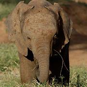 African Elephant ( Loxodanta africana) Baby. Samburu Game Reserve. Kenya. Africa.