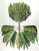Hand painted botanical study of a Theophrasta pinnata plant anatomy from Fragmenta Botanica by Nikolaus Joseph Freiherr von Jacquin or Baron Nikolaus von Jacquin (printed in Vienna in 1809)