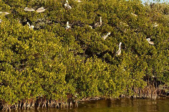 Brown Pelican (Pelecanus occidentalis) Rookery. Near Boca Grande, Florida.