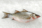 Fresh gray mullet (Mugilidae) on ice