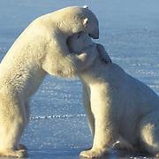 Polar Bear, (Ursus maritimus) Playing. Churchill, Manitoba. Canada.