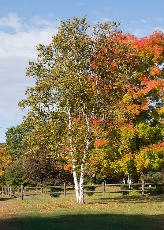 White birch trees wear the colors of a New England autumn.