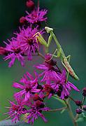 Praying Mantis (Mantis religiosa) hunting on Ironweed.