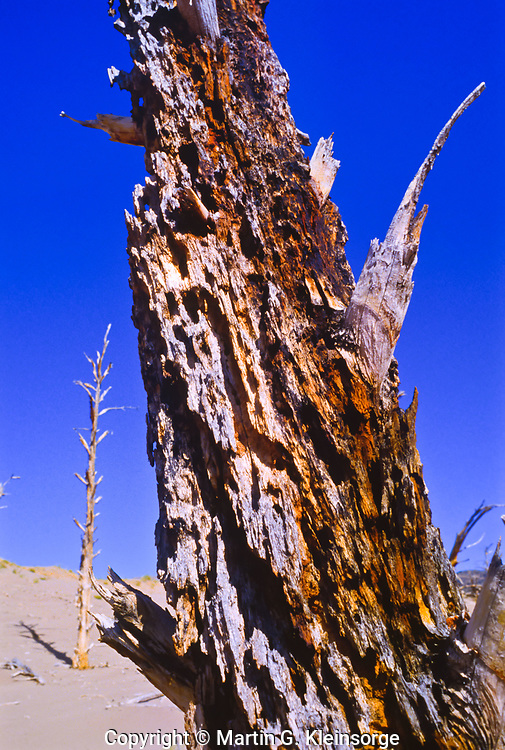 The rough sand-blasted trunk of a ponderosa pine caused by wind-blown sand.  Great Sand Dunes National Park, Colorado, USA.