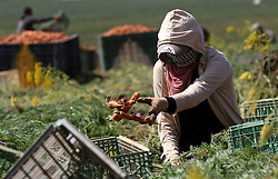 30.04.2015, Tammun, PSE, Karotten Ernte im Nahen Osten, im Bild Arbeiter und Bauern bei der Karotten Ernte auf einem Feld // Palestinian farmers harvest a carrot crop, in Tammun village, near the West Bank town of Tubas. The war between Israel and Gaza in the summer of 2014 drove the Palestinian economy of Gaza and the West Bank into its first contraction since 2006, the International Monetary Fund said in January 2015. The turmoil has left unemployment very high in both areas, 19 percent in the West Bank and 41 percent in Gaza. Photo by Nedal Eshtayah, Palestine on 2015/04/30. EXPA Pictures © 2015, PhotoCredit: EXPA/ APAimages/ Nedal Eshtayah<br /> <br /> *****ATTENTION - for AUT, GER, SUI, ITA, POL, CRO, SRB only*****