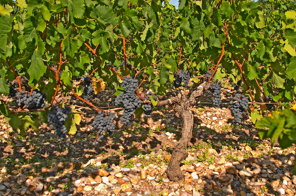 A vine with ripe Merlot grape bunches - Chateau Belgrave, Haut-Medoc, Grand Crus Classee 1855