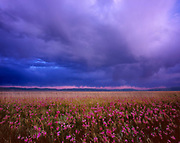 Windblown Shooting Stars and Approaching Storm, Ruby Lake National Wildlife Refuge, Nevada