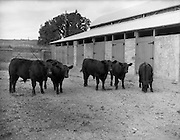 12/08/1959<br /> 08/12/1959<br /> 12 August 1959<br /> Pedigree Bulls and Heifers for Coras Trachtala. Group of young bull calves (calved March/April 1959) owned by Major Alexander, Milford House, Co. Carlow.