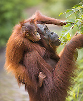 Portrait of a female Bornean orangutan (Pongo pygmaeus) feeding on leaves with her baby on her back in Tanjung Puting National Park, Borneo, Indonesia.