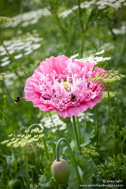 Bumblebees landing on Papaver somniferum 'Perch Hill' - double opium poppy - with Ammi majus