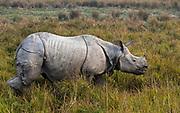 Indian rhinoceros (Rhinoceros unicornis) in Kaziranga NP, Assam, India.