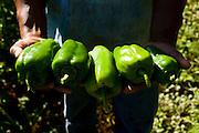 Itatiaiucu_MG, Brasil...Pequeno produtor de pimentao em Itatiaiucu, Minas Gerais...A small rural producer with bell pepers in Itatiaiucu, Minas Gerais...Foto: LEO DRUMOND / NITRO