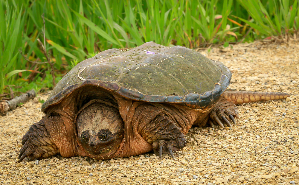 Encountered this creature while biking the Sugar River Bike Trail on May 25, 2015.
