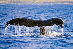 humpback whale, Megaptera novaeangliae, fluking or fluke-up dive, Hawaii, USA, Pacific Ocean