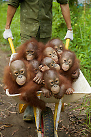 A keeper at IAR transports a group of juvenile orangutans by wheelbarrow to a patch of forest where they will learn skills for the wild <br /><br />International Animal Rescue (IAR)<br />Ketapang<br />West Kalimantan Province<br />Island of Borneo<br />Indonesia