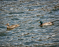 Mallard Duck. Rocky Mountain National Park. Image taken with a Nikon D2xs  camera and 70-200 mm f/2.8 lens.