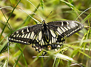 Swallowtail butterfly, in the family Papilionidae. Imnaha River Trail, Hells Canyon National Recreation Area, Wallowa-Whitman National Forest, Imnaha, Oregon, USA