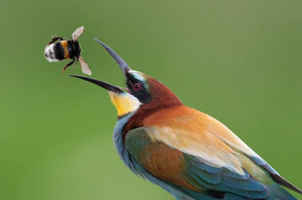 European Bee-eater, Merops apiaster, Pusztaszer Landscape Reserve, Hungary 2008<br /> <br /> Bee-eater tossing a bumble bee (Merops apiaster and Bombus sp.), HUNGARY/PUSZTASZER PROTECTED LANDSCAPE, CSONGRÁD. <br /> <br /> The bee-eater is a specialist in bumble bees, wasps, bees and other larger flying insects. One of Europe's most colourful and exotic-looking birds, the bee-eater lives in colonies in sand banks. That is why this species has benefited from human construction and roadbuilding, where gravel pits and excavation sites provide many more artificial sandbanks than untouched nature. On the other hand, widespread pesticide use in farming reduces the numbers of large insects that the bee-eater needs to survive. The bee-eater is a Mediterranean species of dry and open country, spreading northwards with climate change. Sometimes they are persecuted by bee-keepers, who are not so enthusiastic about their choice of diet.