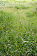 close up of wild grass leading to a grassland field