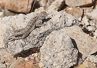 Lesser earless lizard, Holbrookia maculata, shedding its skin. Tucson Mountain District of Saguaro National Park, Arizona