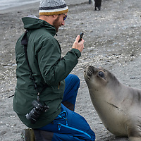 A man with a camera is approached by a curious elephant seal weaner at Saint Andrews Bay on the north coast of South Georgia Island.