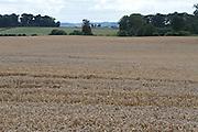 Wheat, crop, harvest, arable, farming, field, wheaten, flour, ripe,