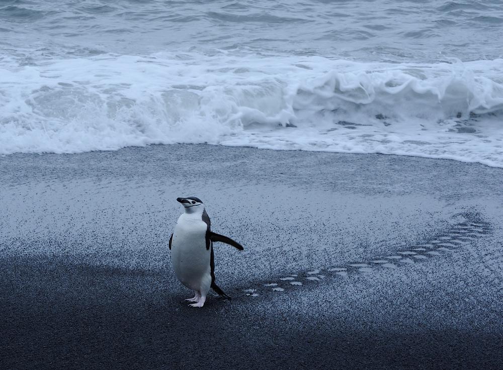 A Chinstrap Penguin (Pygoscelis antarctica) walks up the black volcanic sand beach. Saunders Island, South Sandwich Islands. South Atlantic Ocean. 25Feb16