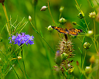 Variegated Fritillary Butterfly (Euptoieta claudia). Image taken with a Fuji X-T3 camera and 100-400 mm OIS lens