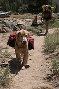 A dog (golden retriever) and woman hiking on the Pacific Crest Trail, Toiyabe National Forest, California