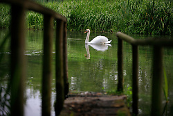 UNITED KINGDOM HAMPSHIRE 17JUN09 - A swan on the chalkstream river Itchen at Ovington in Hampshire, southern England...The river has a total length of 28 miles, and is noted as one of England's - if not one of the World's - premier chalk streams. It is designated as a Site of Special Scientific Interest and is noted for its high quality habitats, supporting a range of protected species...jre/Photo by Jiri Rezac / WWF UK..© Jiri Rezac 2009