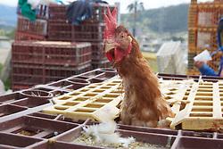 Chicken, Otovalo Market