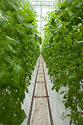 Rows of tomato plants growing hydroponically. The Cornerways tomato nursery is the largest greenhouse in the UK. It is attached to the British Sugar factory in Wissington, Norfolk. The project is a revolutionary CHP combined heat and power system that uses the heat produced by refining sugar beet into sugar, to heat the tomato plants that are grown hydroponically.