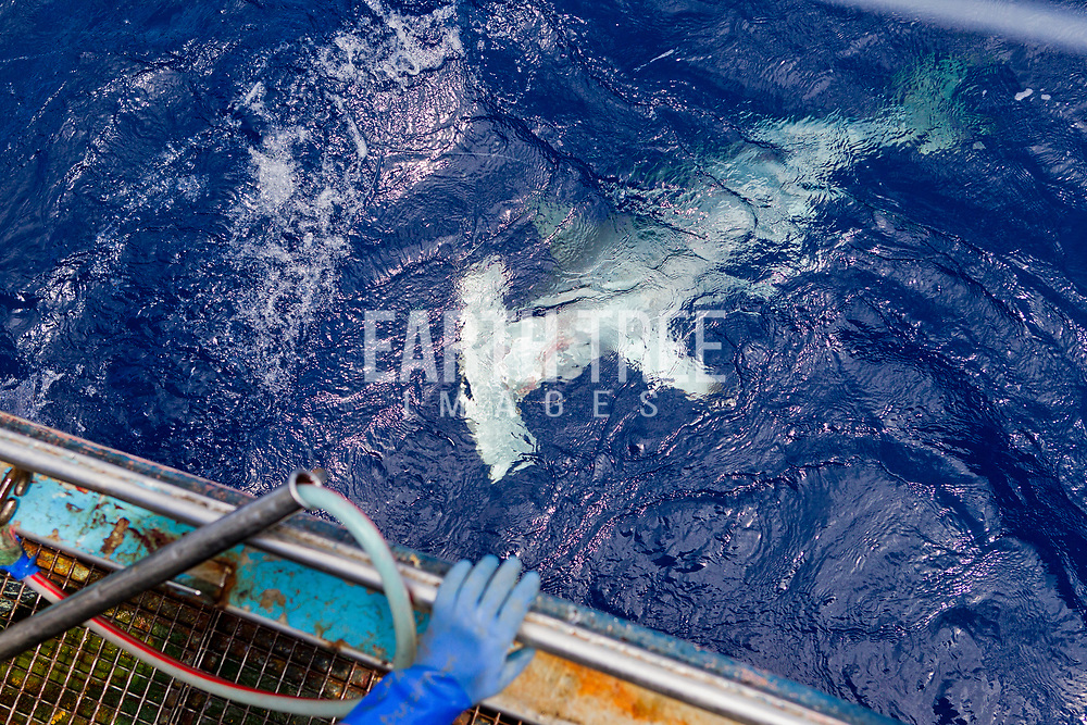Crew from the spanish longliner, Hermanos Labaen A Guarda pulls in a hammerhead shark in the Mozambique channel. Photo: Paul Hilton/Greenpeace for Earth Tree Images