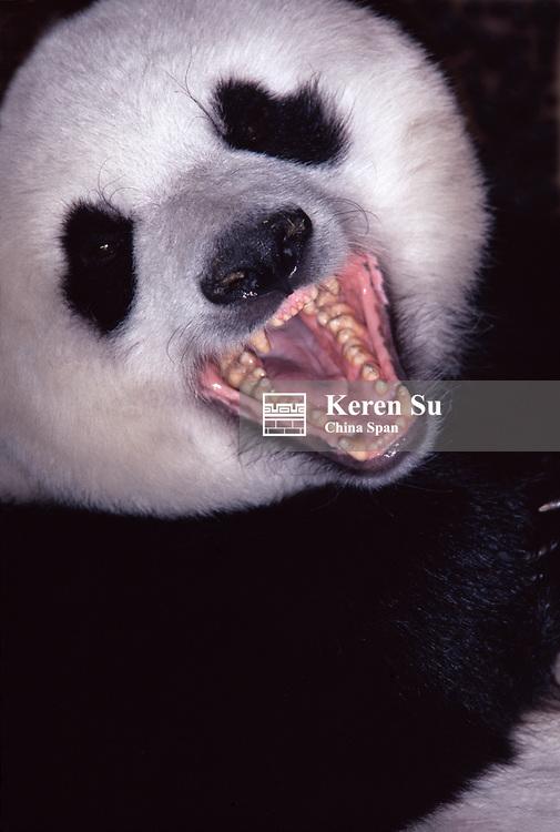 Giant panda, mouth open showing teeth, Wolong, Sichuan, China