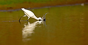 Little egret (Egretta garzetta) foraging for food while wading in a pool. This small white heron is originally native to warmer parts of Europe and Asia, Africa and Australia. It eats crustaceans, fish and insects that it catches in shallow water. Photographed in Israe