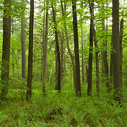 Cinammon ferns in a forest of beech, oak, and white pine.