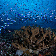 There are still virgin reefs like this that few people have seen, where unspoiled corals carpet the reef system and countless fish gather to feed in the currents. This photograph is from a dive site called Tokyo Express in the Eastern Fields of Papua New Guinea.