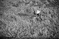 Harvesting time in Doc Let, Vietnam, Asia