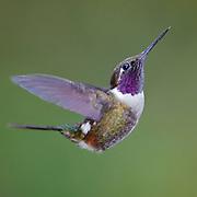Male of the Purple-throated Woodstar (Calliphlox mitchellii) from Mindo, Ecuador.